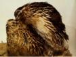 quail mating