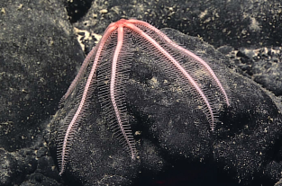 A brisingid sea star clings to a ferromanganese cobble. The cobble, and the associated sea star, were collected shortly after being imaged by D2. Image courtesy of the NOAA Office of Ocean Exploration and Research, 2017 American Samoa.